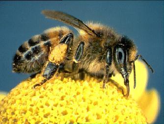 bee-on-floweri.jpg