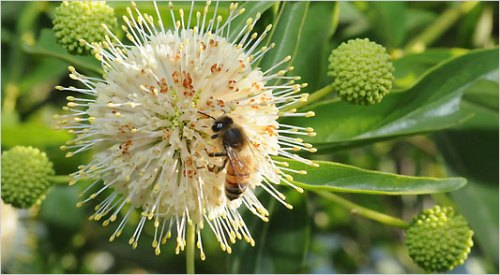 Honey bee nectaring on button willow